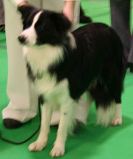Evie at Luton Canine association show